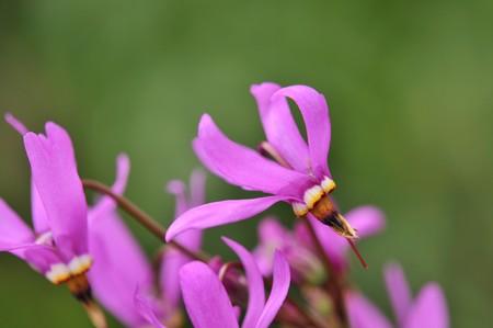 etoiles filante: fleur rose dodecatheon meadia shooting star avec fond vert Banque d'images