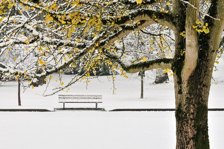 Autumn color ginkgo tree with first winter snow in park photo