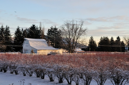 Blueberry farm in winter morning, Abbotsford, BC