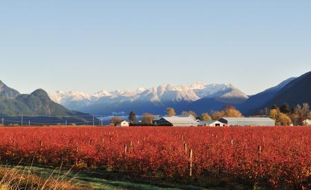 blueberry bushes: Fraser valley Blueberry farm in Winter near Maple Ridge