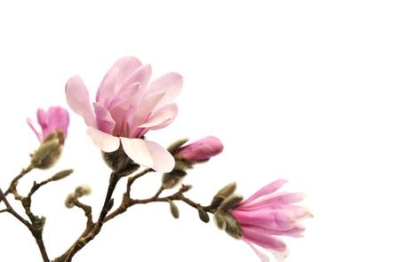 白い背景上に分離されてピンクのモクレンの花