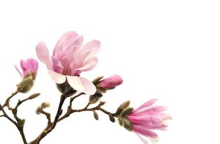 magnolia flower: Pink magnolia flowers isolated on white background