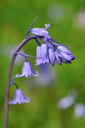 hispanica: a cluster of bluebell  Hyacinthoides hispanica flowers