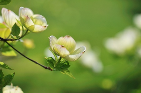 White dogwood flower tree branches with green background