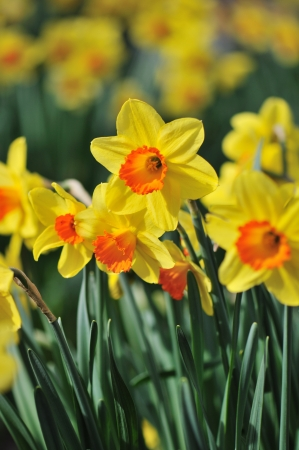 Yellow Daffodil flowers with orange center in garden