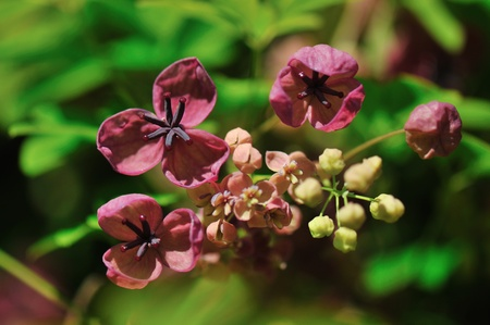 leaflets: five-leafed, Chocolate vine  akebia quinata flowers and buds