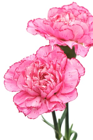 Pink carnation flowers on a white background