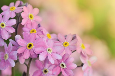 pink forget me not flowers  photo