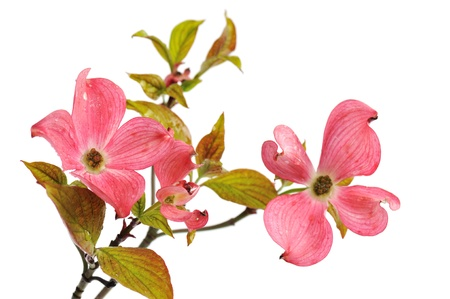 Pink Doogwood Blossoms isolated on white background