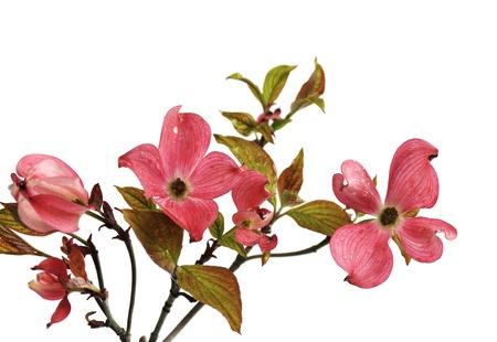白い背景で隔離されたピンク色の Doogwood の花