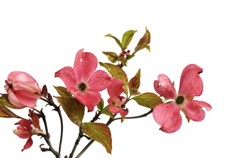 dogwood tree: Pink Doogwood Blossoms isolated on white background