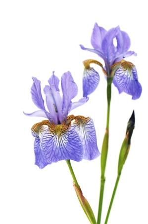 iris sanguinea, blue flowers isolated on white background