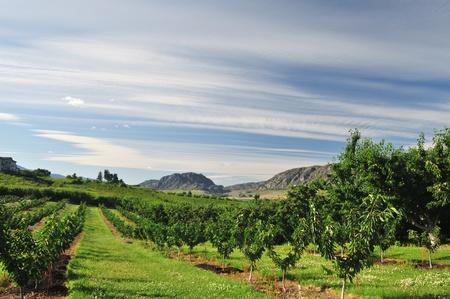 ブドウ畑や果樹園オッソ, オカナガン バレーで 写真素材