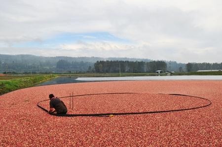 クランベリーの収穫の秋 写真素材