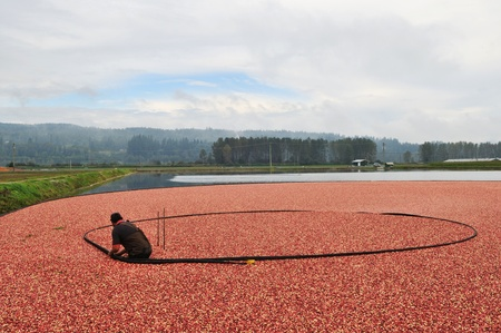Cranberry Harvesting in autumn