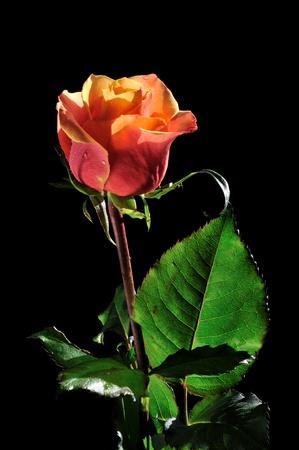 orange rose: Orange red rose isolated on black background