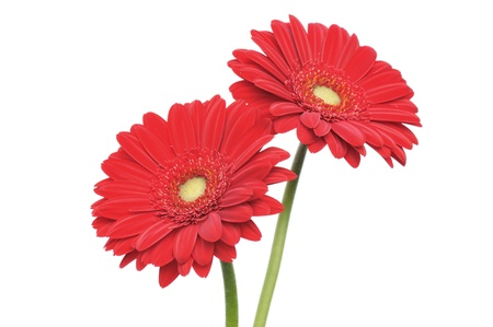 red gerber daisy isolated on white background  Stok Fotoğraf
