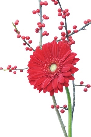 red gerber daisy and winter berries isolated on white background  Stok Fotoğraf