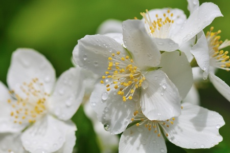 Philadelphus lewisii, Lewis Stock Photo - 11426146