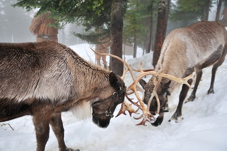 grouse: two reindeers fight in the snow on Grouse Mountain
