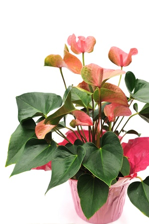 anthurium: Potted Pink Flamingo Lily Flowers