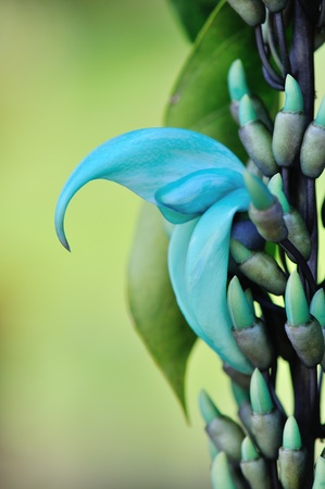spectacular Hawaii Blue Jade Vine flower and Buds
