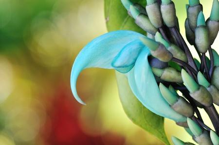 壮大なハワイの青い翡翠葛の花と蕾