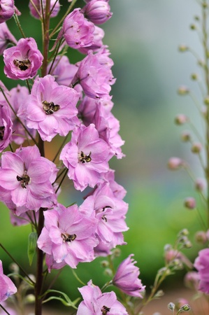 Pink delphinium flowers in a spring garden Stock Photo