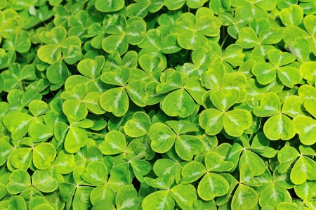 cloverleaf: The Oxalis Family in the Cascade Mountains of Oregon and Washington