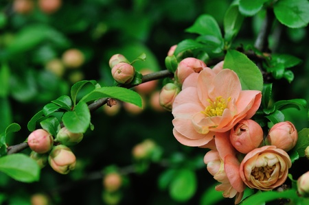 Peach Colored Cameo Flowering Quince in spring garden Stock Photo - 13436131