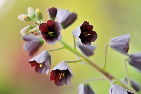 Fritillaria persica, Common Name  Persian lily