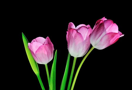 pink tulip flowers isolated on black background