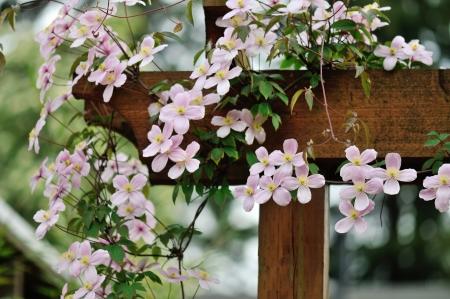 clematis flower: pink clematis montana rubens climbing on garden gate