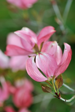 dogwood tree: Pink Dogwood Tree Blooms At The Height Of Springtime Stock Photo