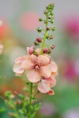 Verbascum Jackie, Hybrid Mullein, Cousins to the common roadside mullein