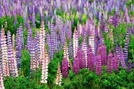 lupine: Colorful Lupine flowers in a woodland field Stock Photo