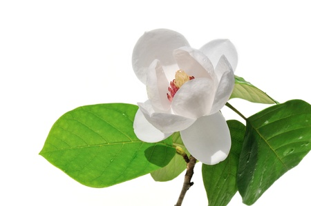 magnolia sieboldii flower and leaves isolated on white background
