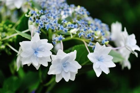 Hydrangea macrophylla-Lace Cap, Shooting Star, also, Fuji Waterfall