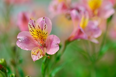 hardy: half hardy perennial Alstroemeria, or Peruvian lily Stock Photo
