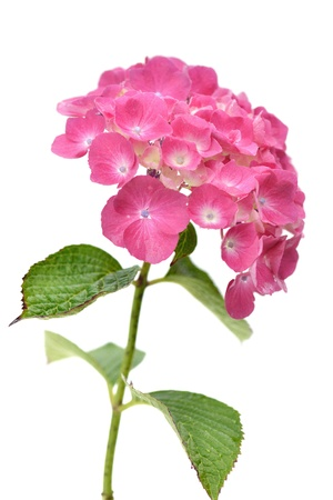 Pink hydrangea isolated on a white background