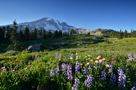 mt: Full Bloom Wildflowers in Paradise, Mt  Rainier National Park
