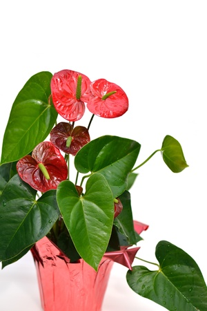 anthurium: A Pot of Red Flamingo Lily flowers Stock Photo