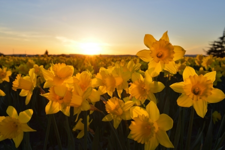 skagit: Skagit Valley Daffodil Field at sunset, Washington State
