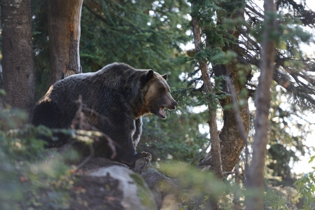 Grizzly Bear roaring in the woods on top of Grouse Mountain