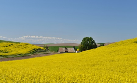 palouse: Yellow Canola Flower and farmhouse  in Palouse Washington State