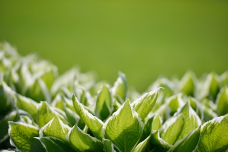 white edged hostas with new lawn as background