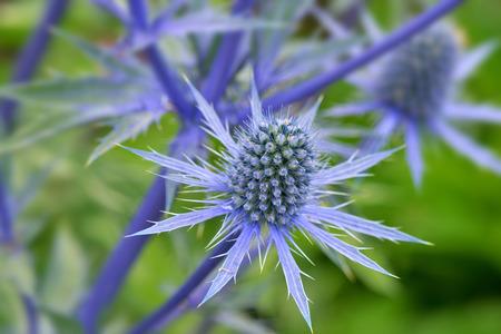 エリンジウム平庭の青い海ヒイラギ