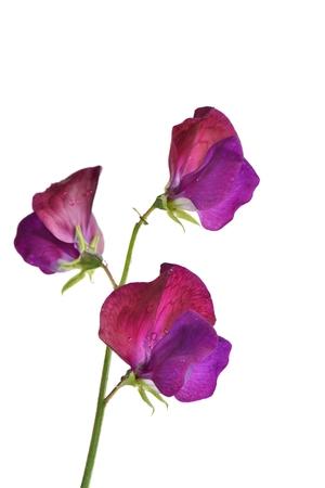 withe: Lathyrus odoratus, Common Name: sweet pea  Stock Photo