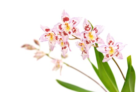 Odtdm. Mini Mutany Spring Fever, Oncidium Intergeneric Hybrids