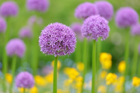 wallflower: Purple allium flowers  field with tiny blue flowers and yellow wallflowers Stock Photo